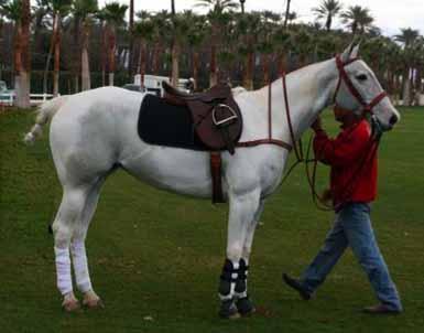 polo horse breed pony products
